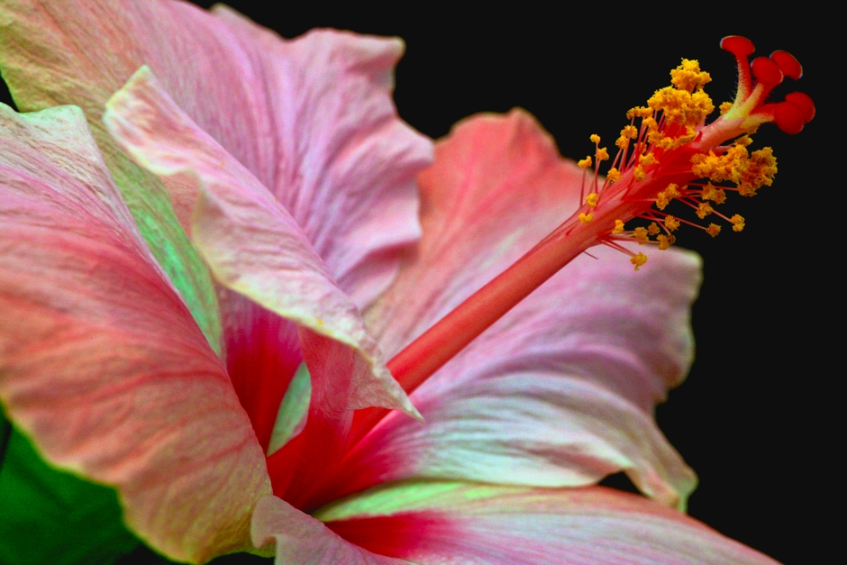 Scott Mead Photography | Hibiscus 1