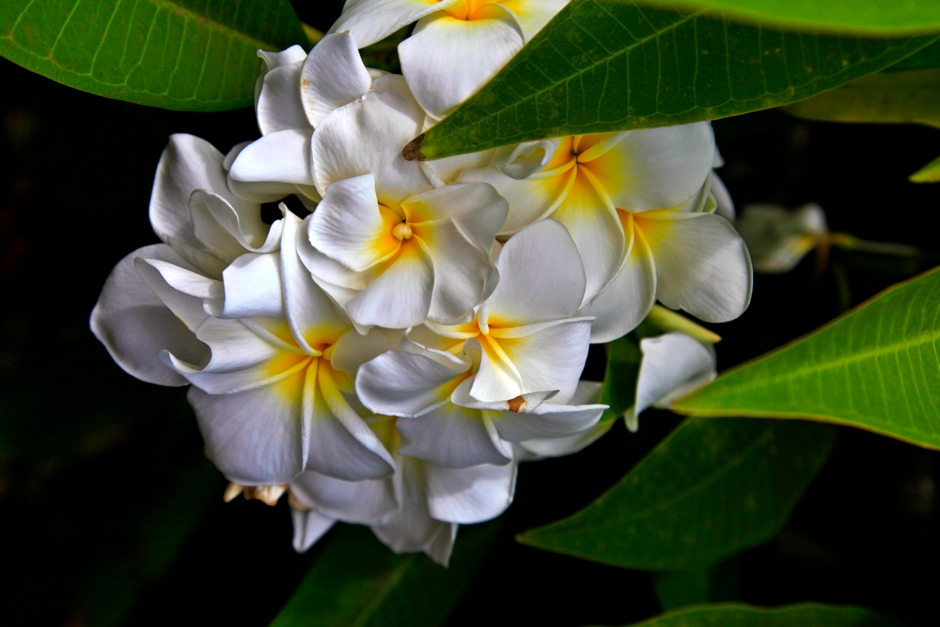 Scott Mead Photography | Sweet Plumeria