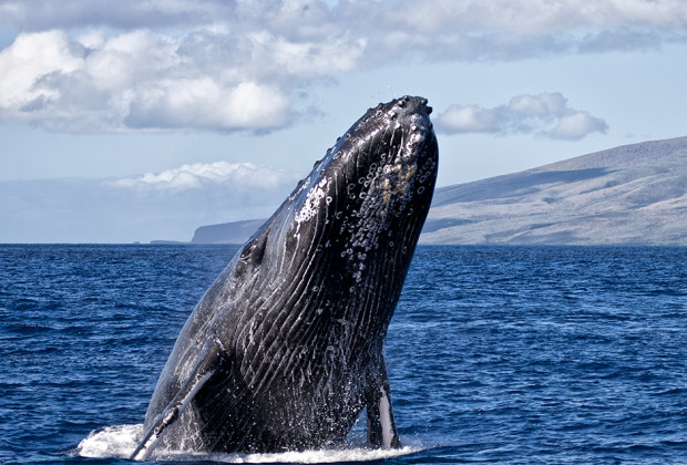 A Whale of a Good Time on a Maui Humpback Whale Workshop