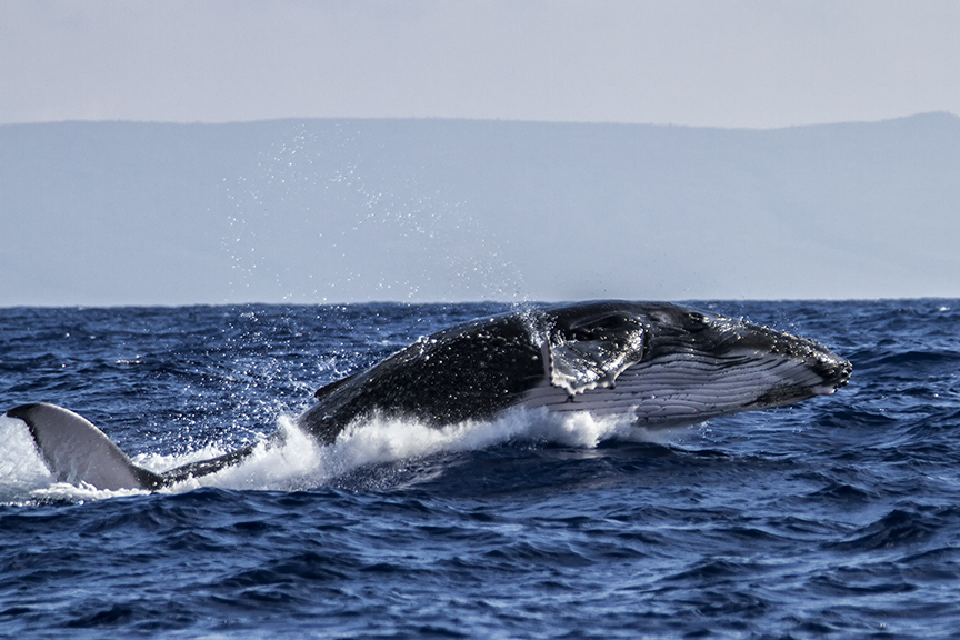 Week-Old Humpback Whale Learns to Breach