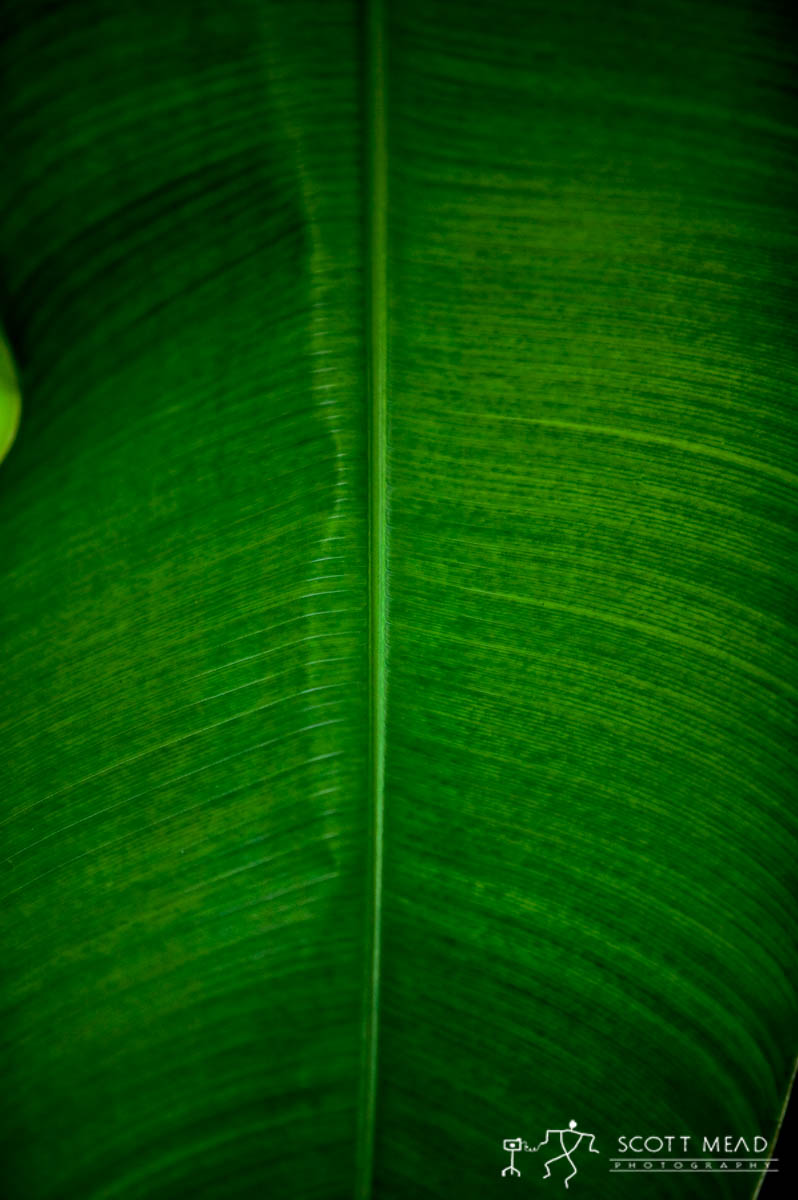 Scott Mead Photography | Banana  Leaf  1