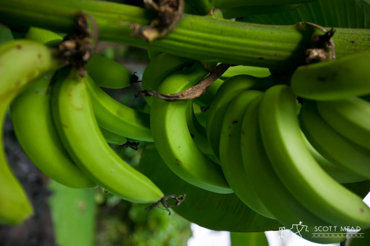 Scott Mead Photography | Bananas