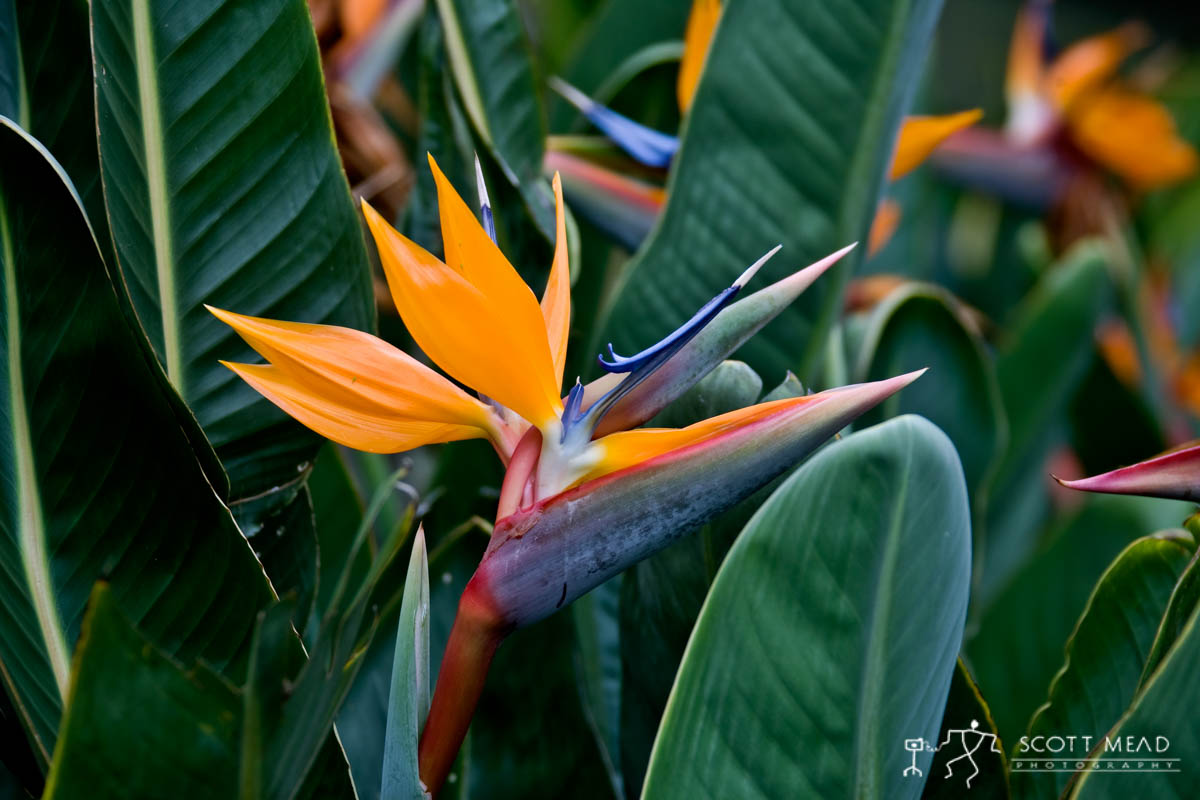 Scott Mead Photography | Birds of Paradise