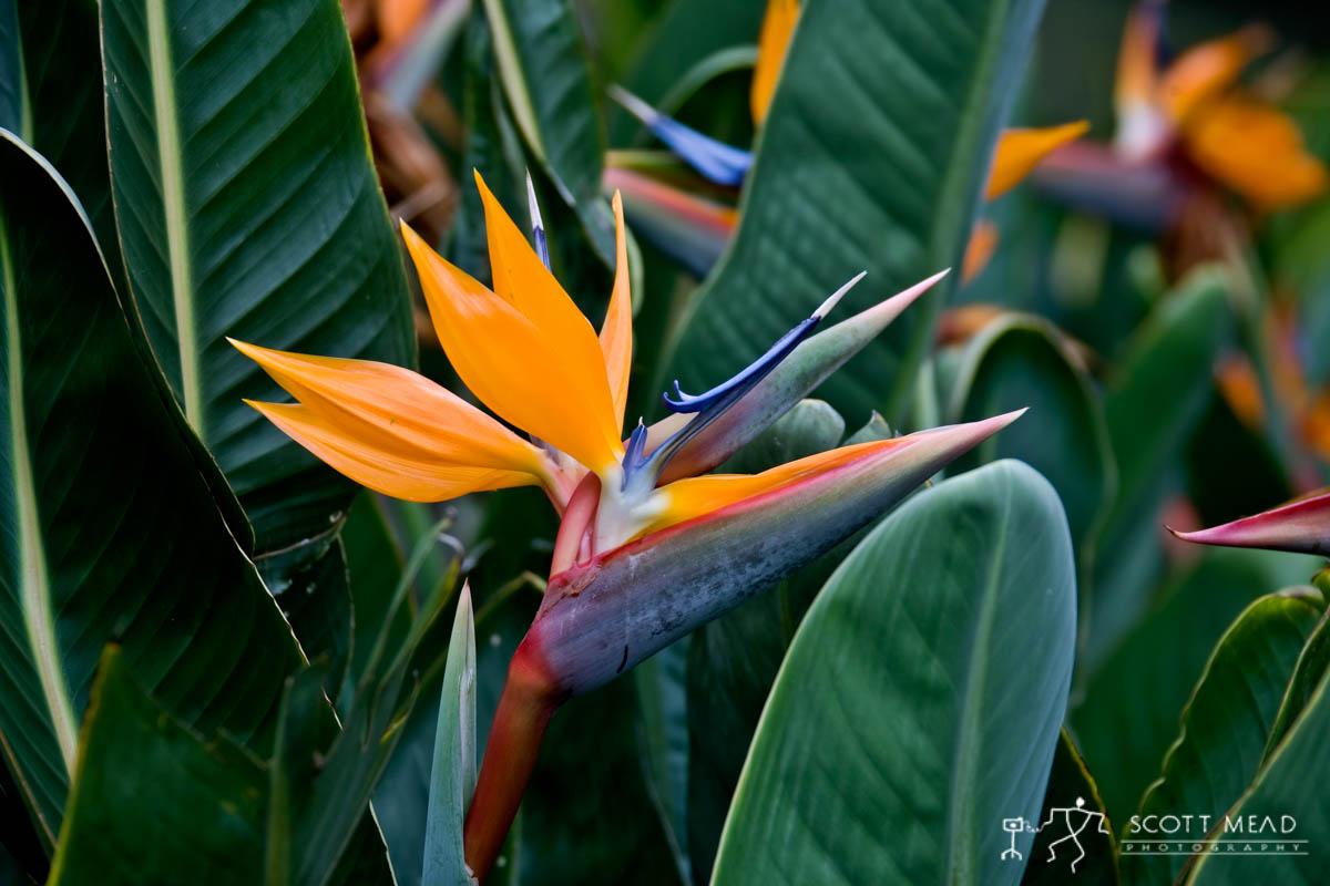 Scott Mead Photography | Birds of Paradise