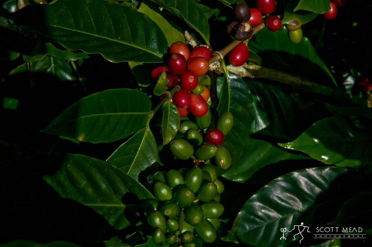 Scott Mead Photography | Coffee Cherry 1