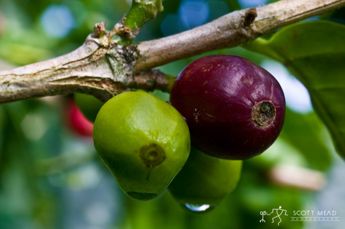 Scott Mead Photography | Coffee Cherry 4
