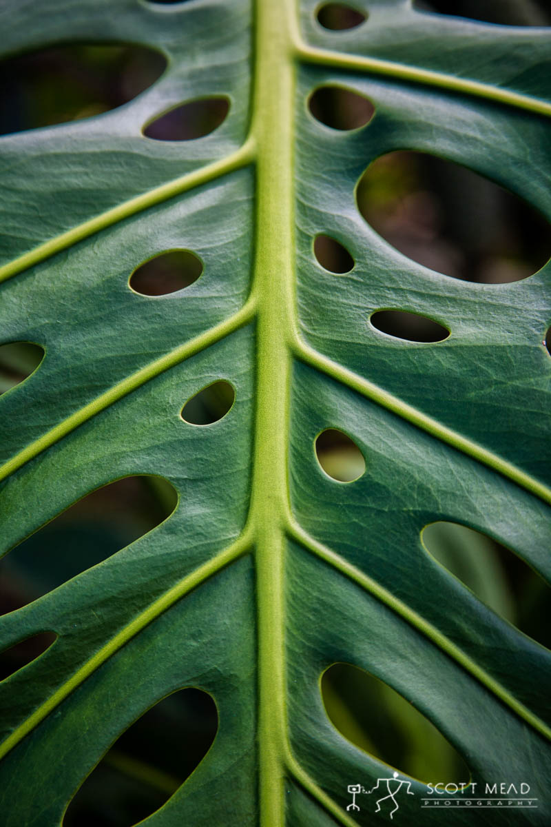 Scott Mead Photography | CutLeaf Philodendron