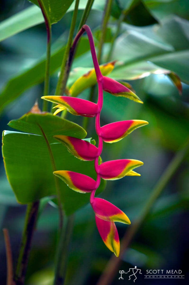 Scott Mead Photography | Hanging Heliconia