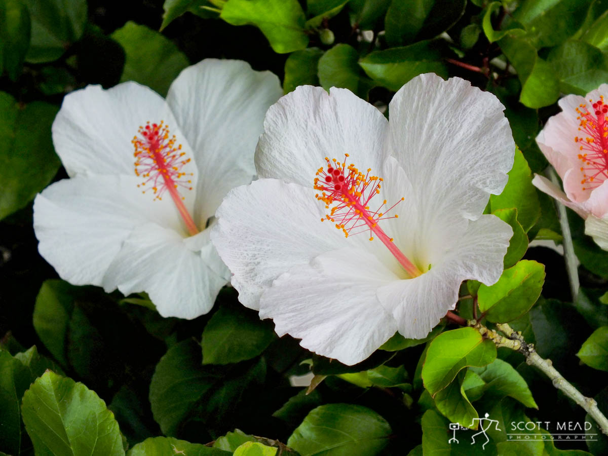 Scott Mead Photography | Hawaiian White Hibiscus