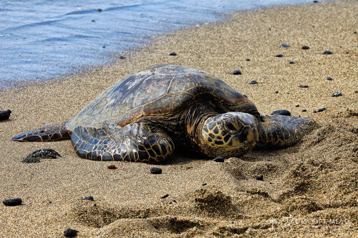 Scott Mead Photography | Honu 14