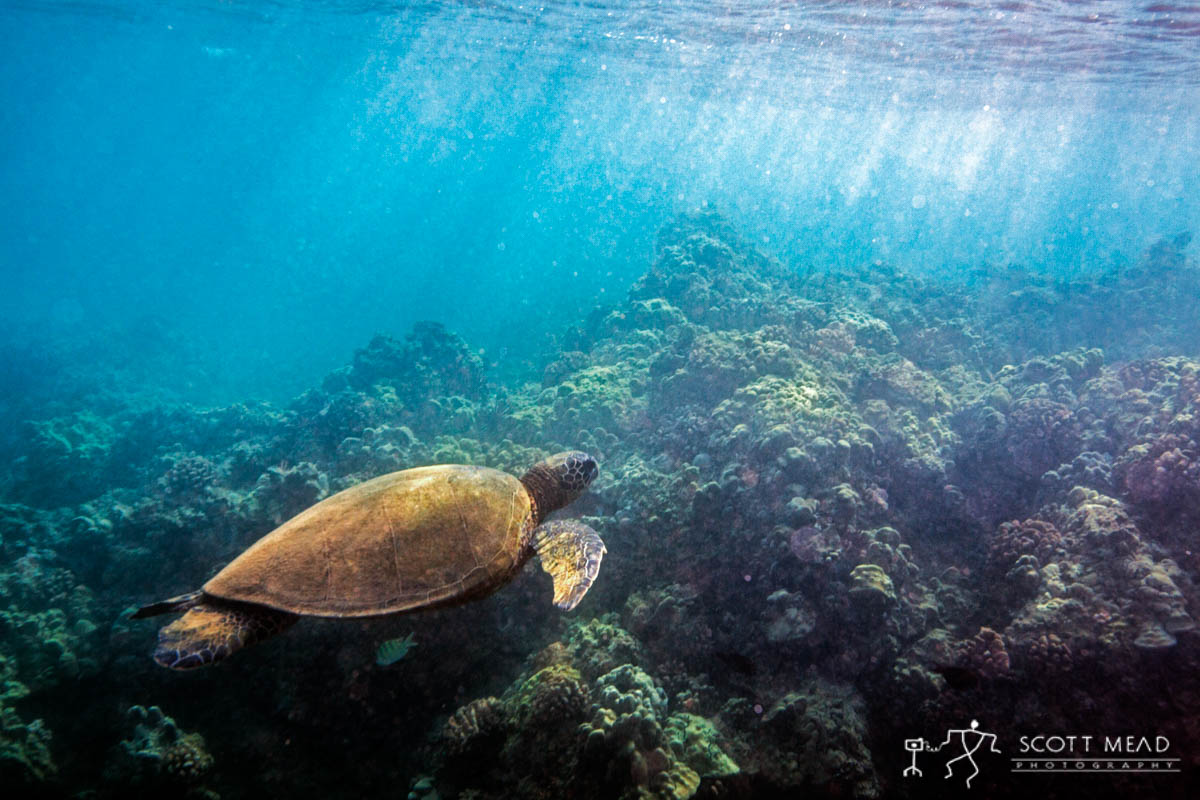 Scott Mead Photography | Honu Fly By