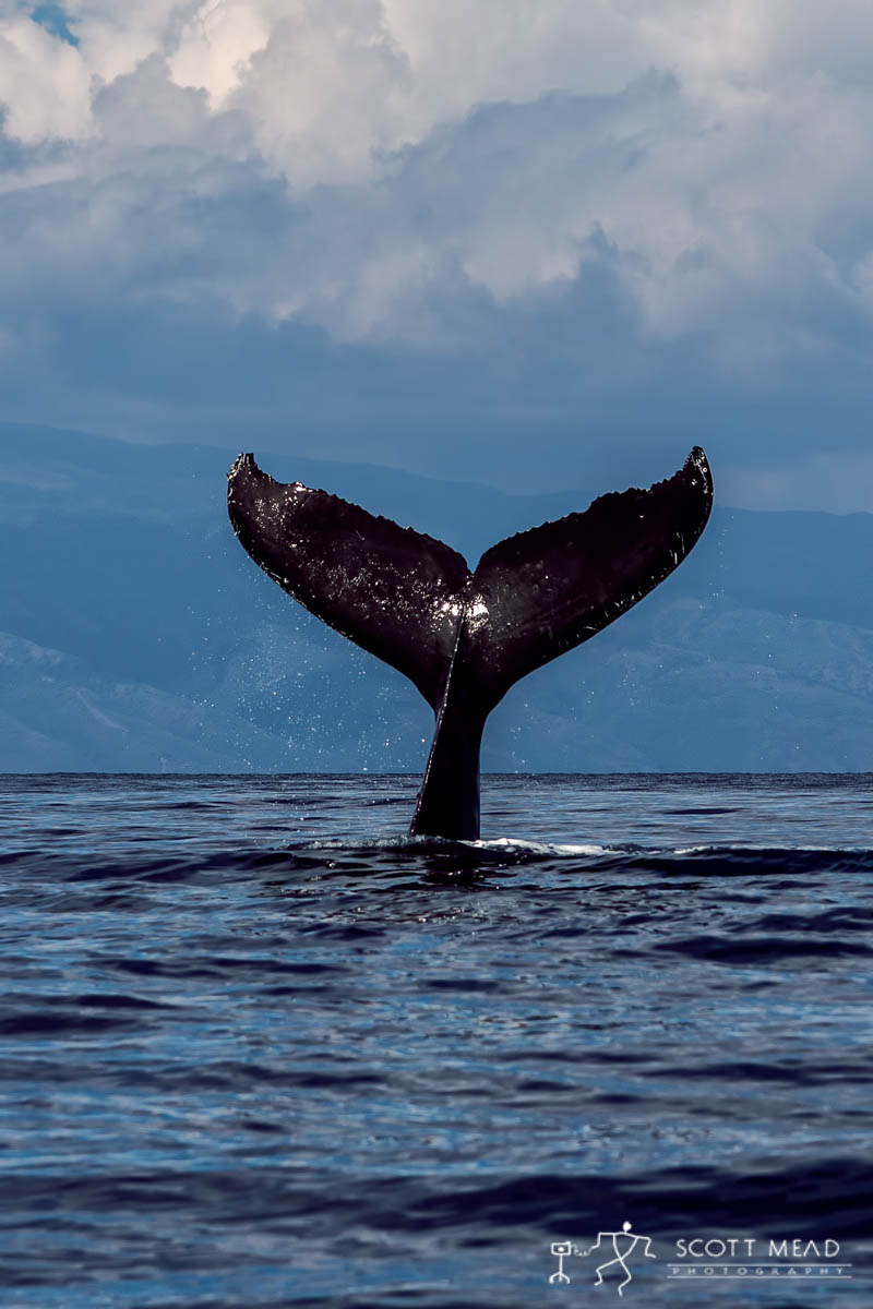 Scott Mead Photography | Humpback Sail