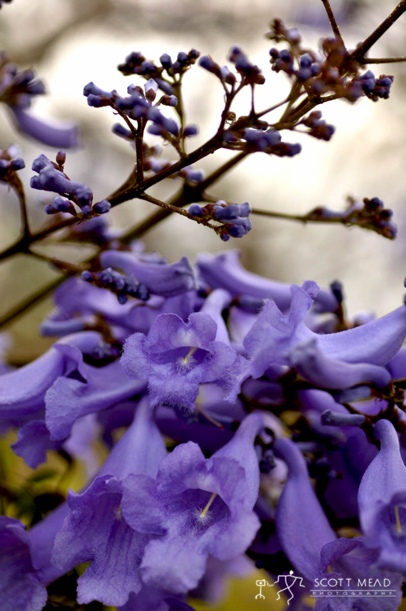 Scott Mead Photography | Jacaranda Blooms