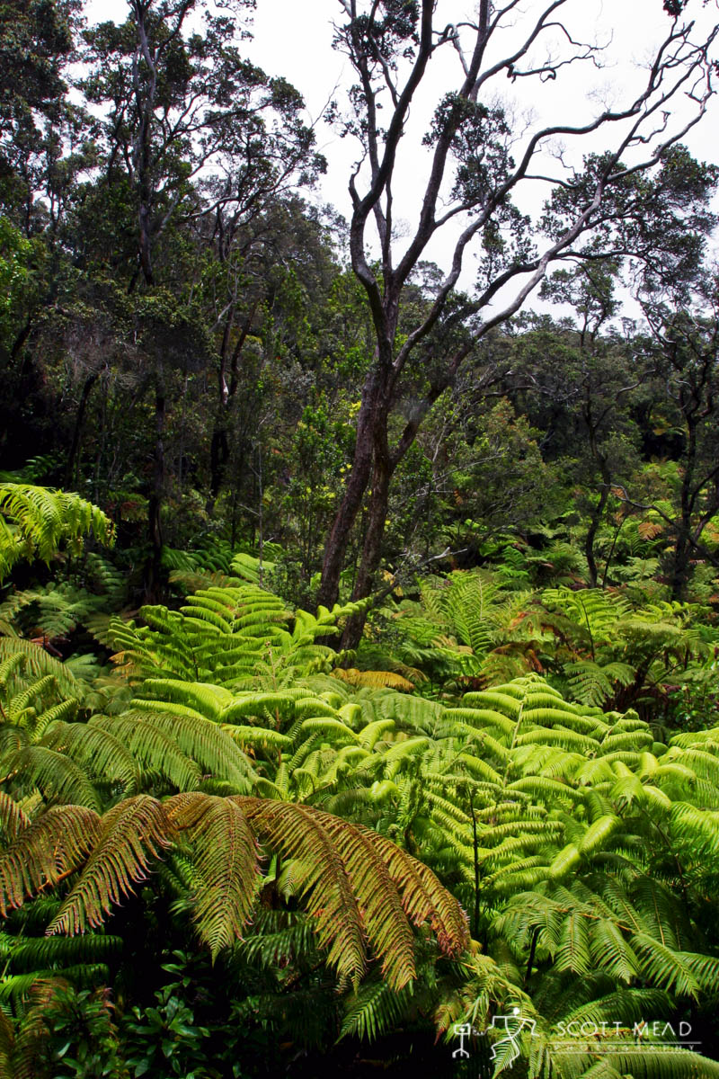 Scott Mead Photography | Kilauea Ferns