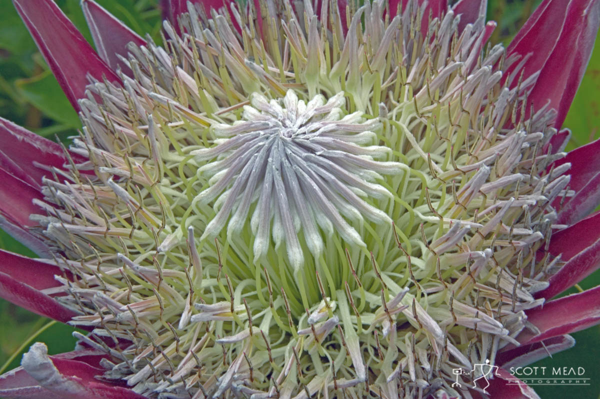 Scott Mead Photography | King Protea 2