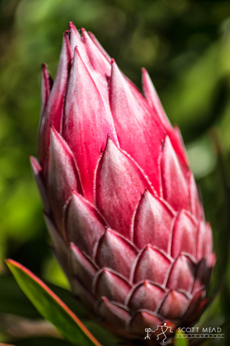 Scott Mead Photography | King Protea Bud
