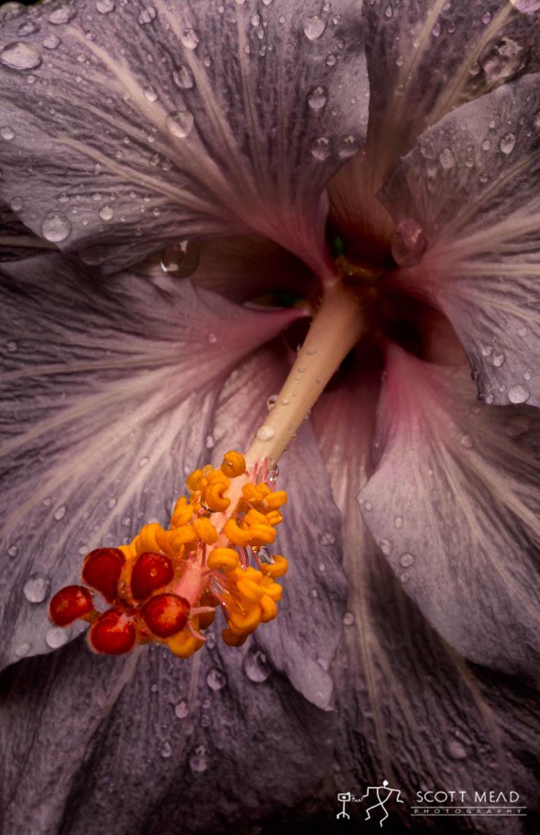 Scott Mead Photography | Lavander Hibiscus