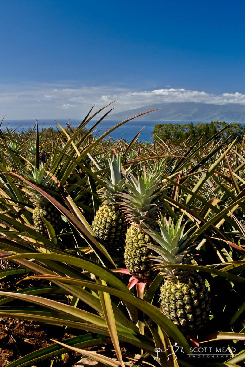 Scott Mead Photography | Maui Pine