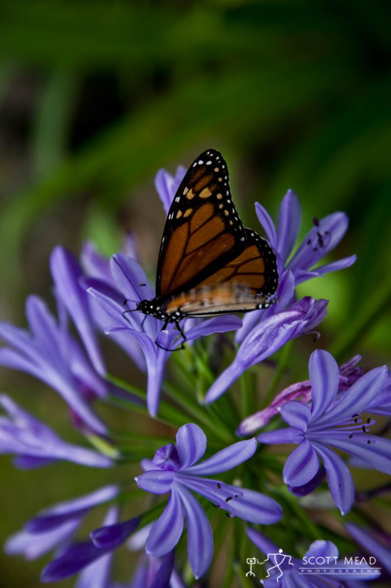 Scott Mead Photography | Monarch