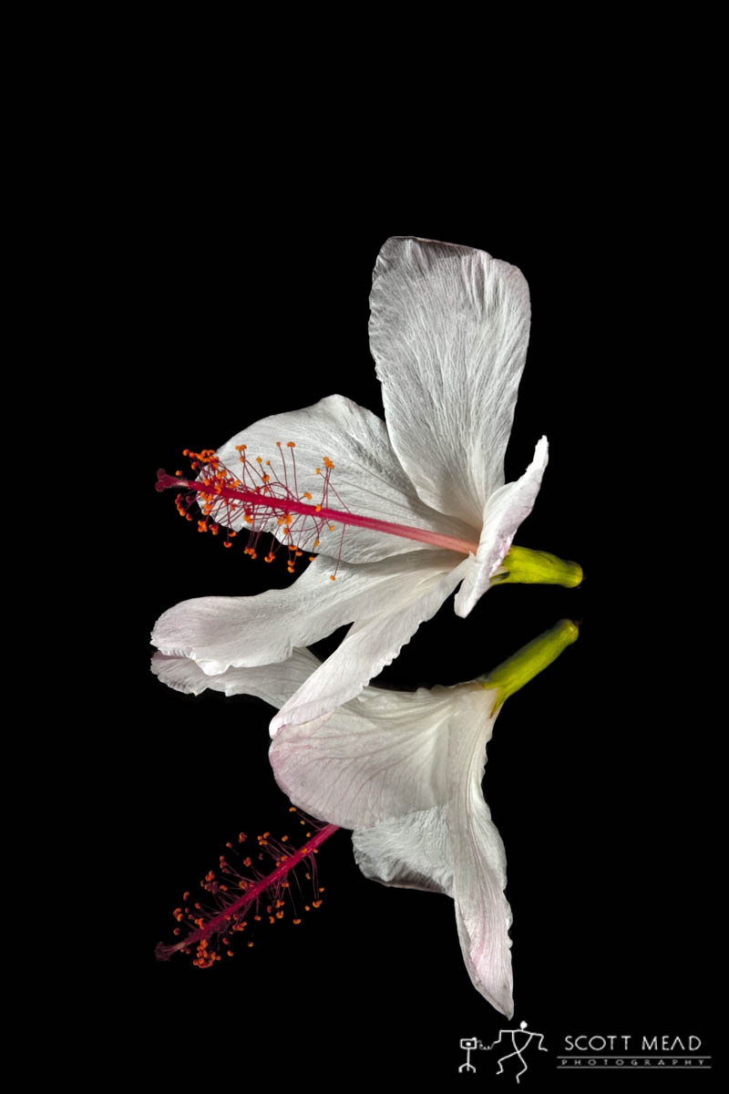 Scott Mead Photography | Native White Hibiscus