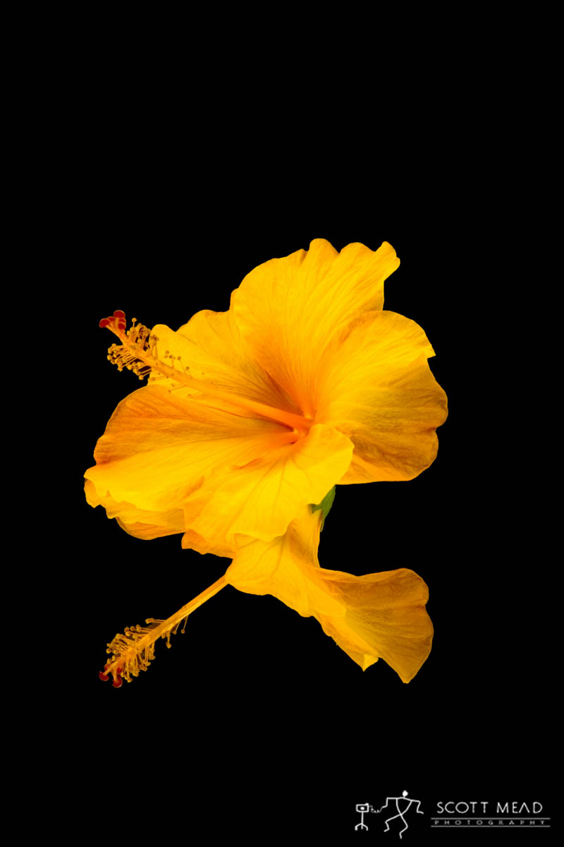 Scott Mead Photography | Orange Hibiscus
