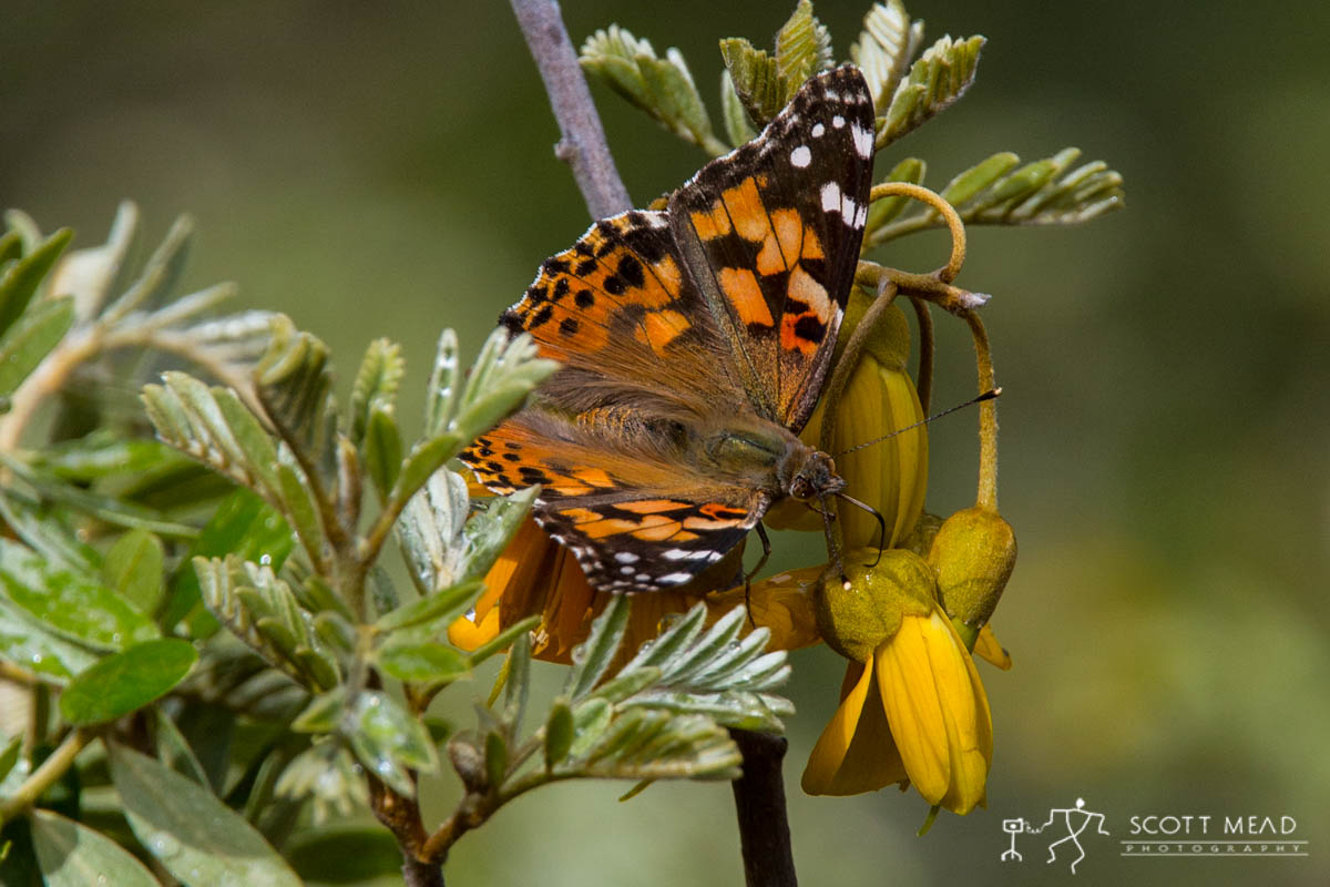 Scott Mead Photography   Painted Lady