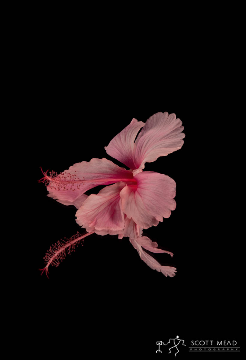 Scott Mead Photography   Pink Hibiscus