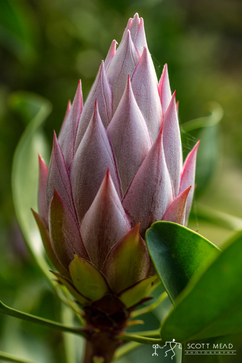 Scott Mead Photography   Pink King Bud