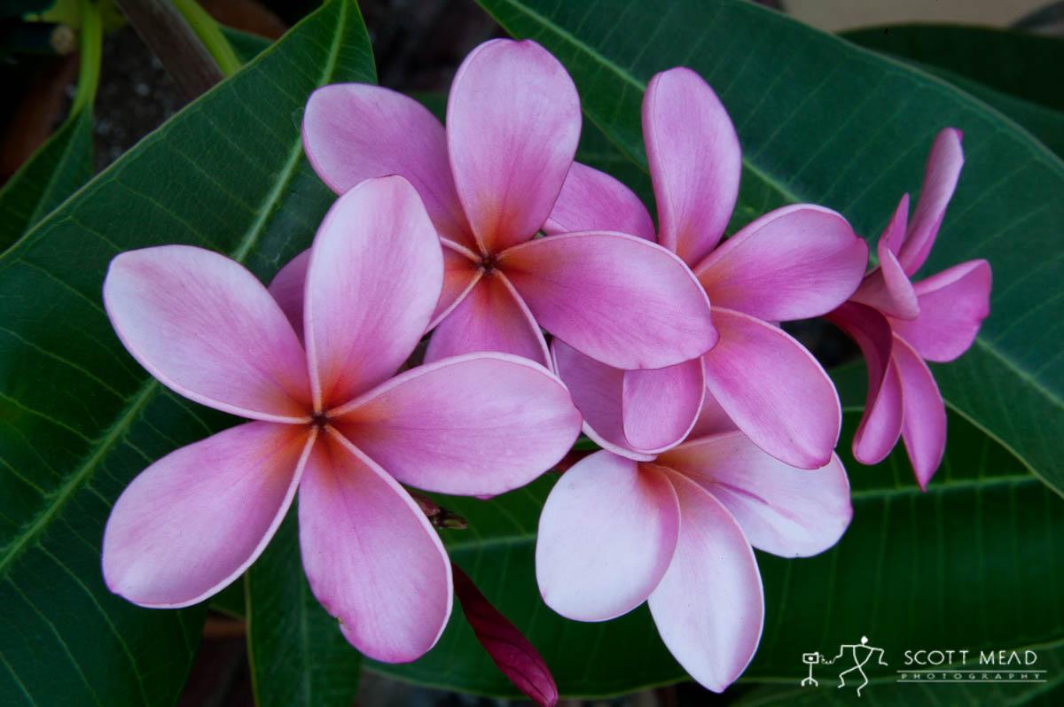 Scott Mead Photography   Pink Plumerias
