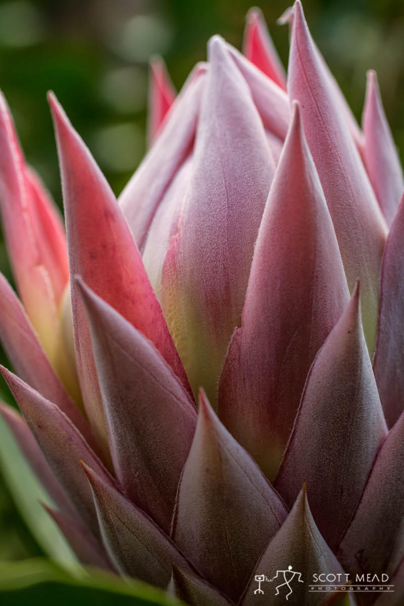 Scott Mead Photography   Protea Layers