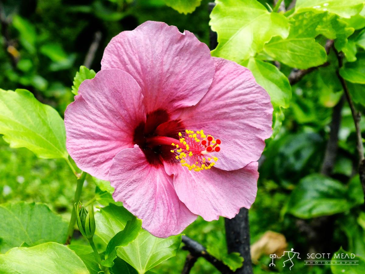 Purple Hibiscus Scott Mead Photography Inc