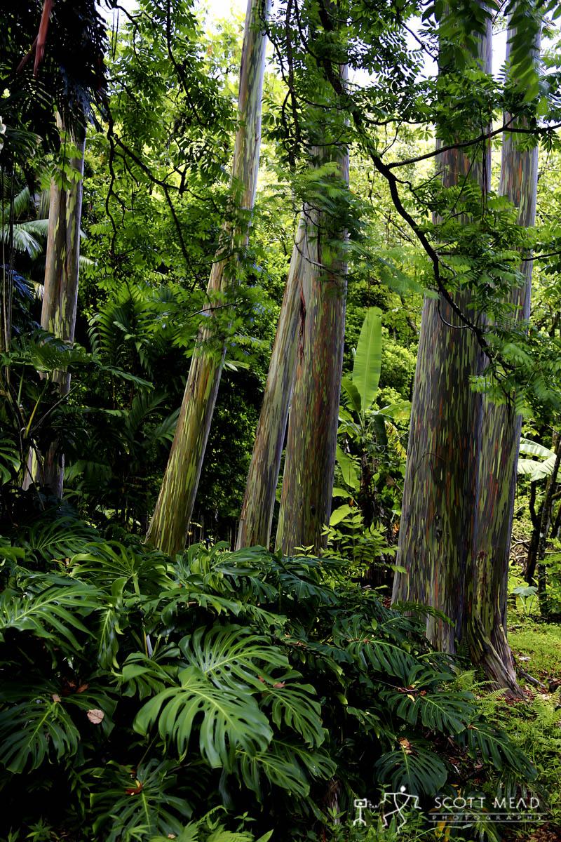 Scott Mead Photography   Rainbow Eucalyptus