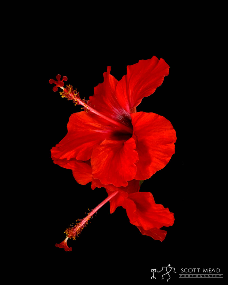 Scott Mead Photography | Red Hibiscus