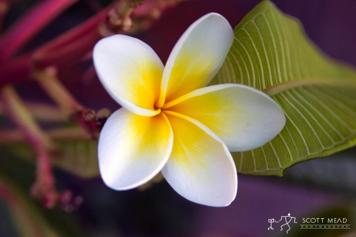 Scott Mead Photography | Single Plumeria