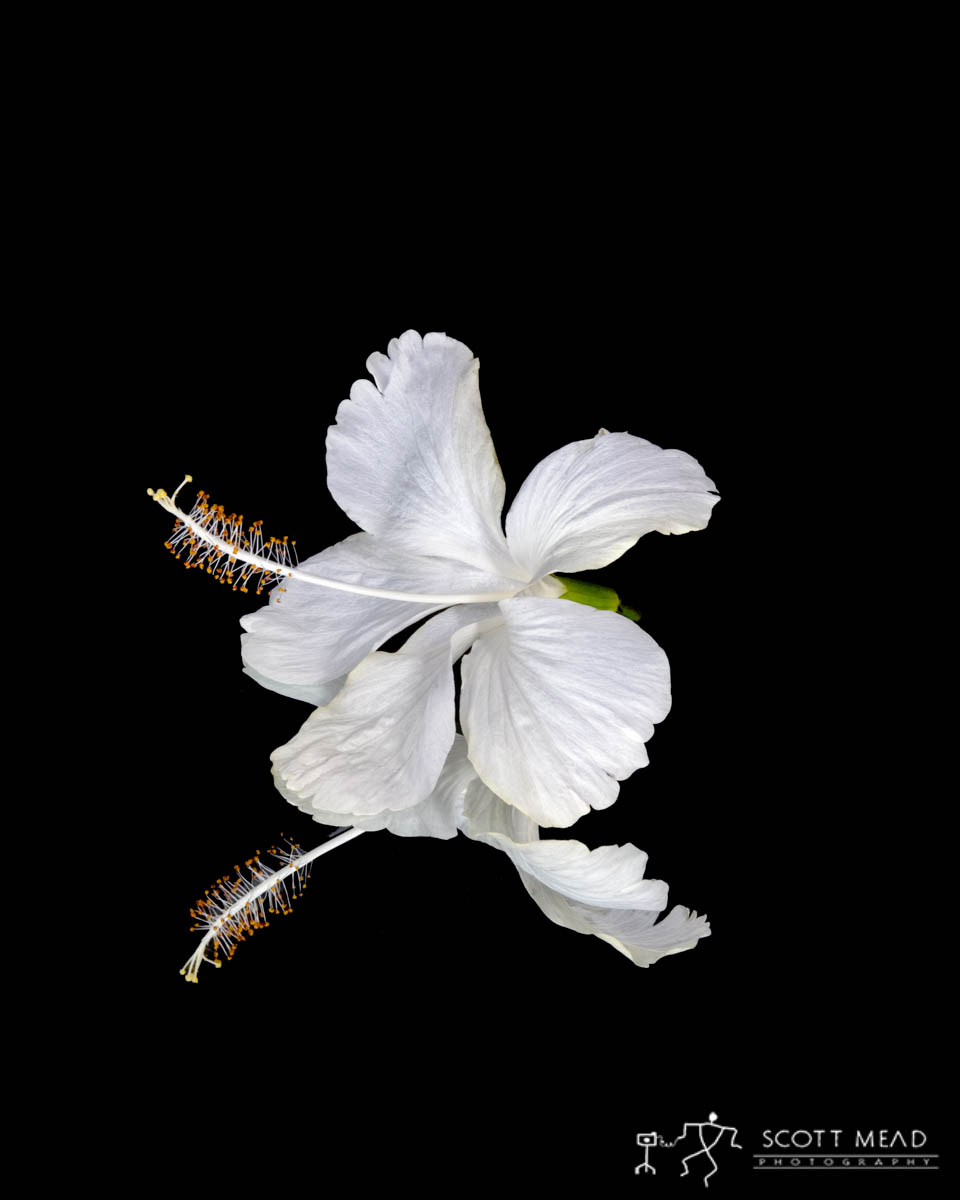 Scott Mead Photography | White Hibiscus