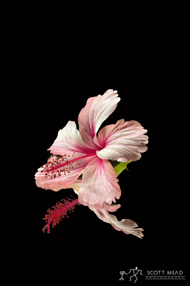 Scott Mead Photography | White Magenta Hibiscus