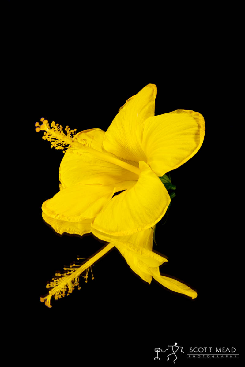 Scott Mead Photography | Yellow Hibiscus