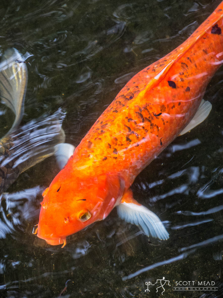 Scott Mead Photography | You So Koi