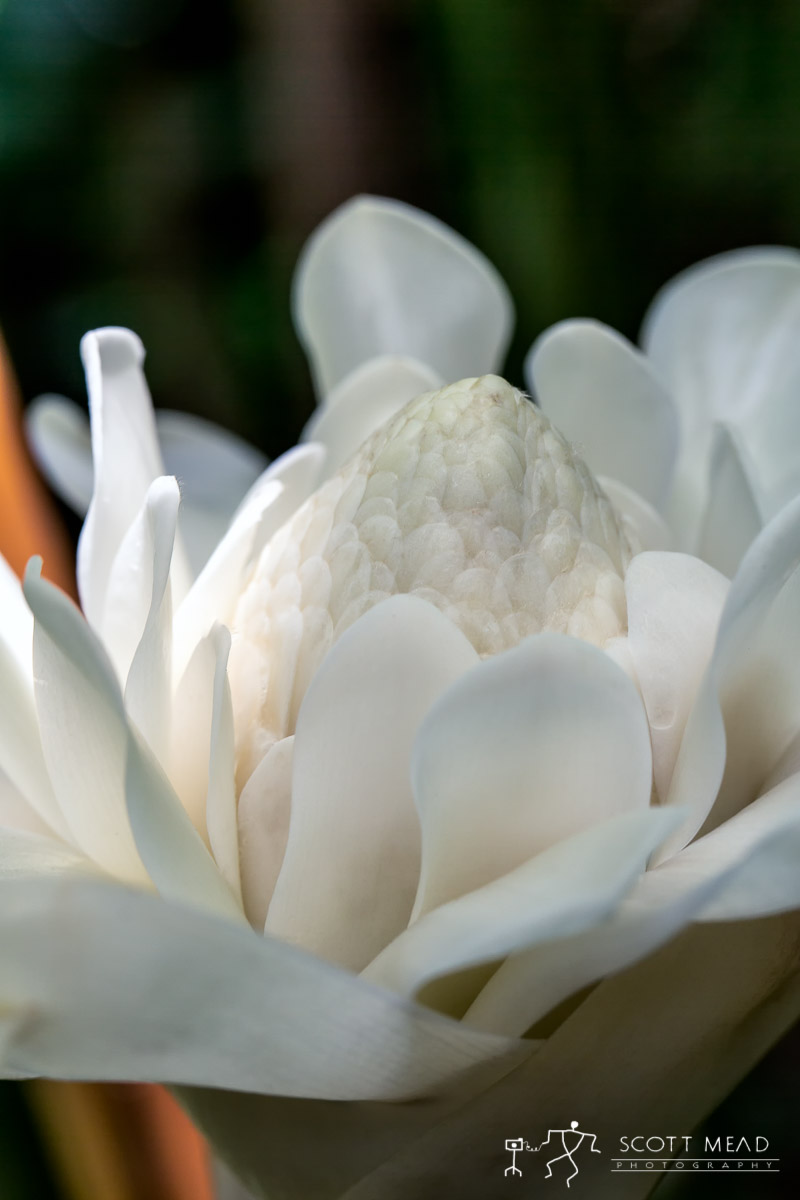 Scott Mead Photography | White Torch Ginger