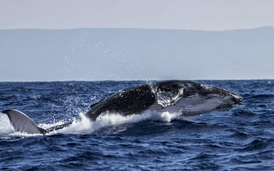 10 Tips to Get Great Humpback Whale Shots – Part 1